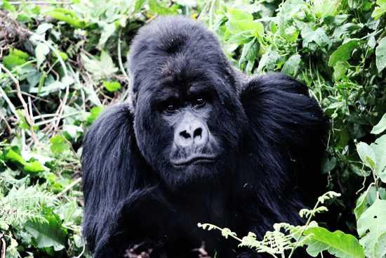 Um gorila-da-montanha na floresta tropical ruandesa. Foto: Billy Hare