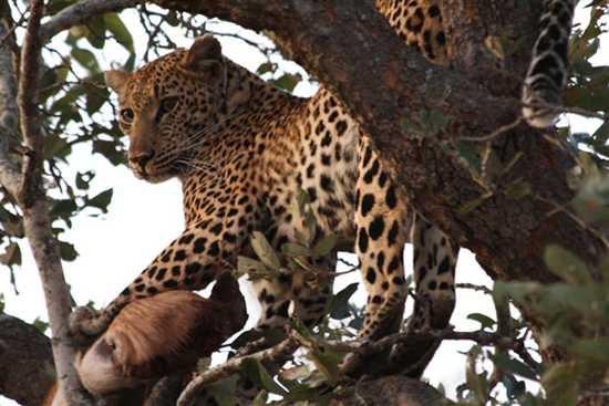 Big Five Leopard