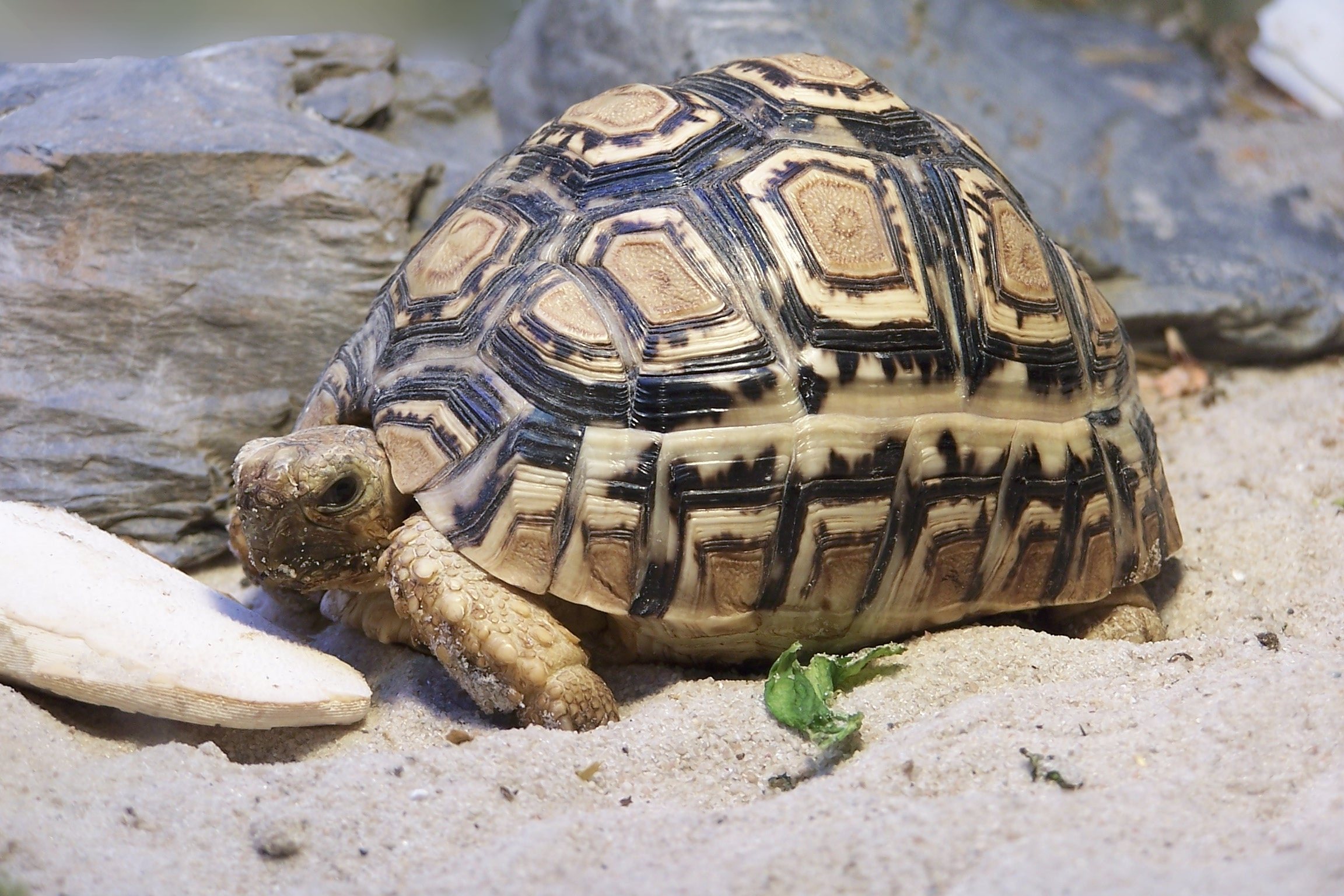 leopoard tortoise one of the Little Five of Africa