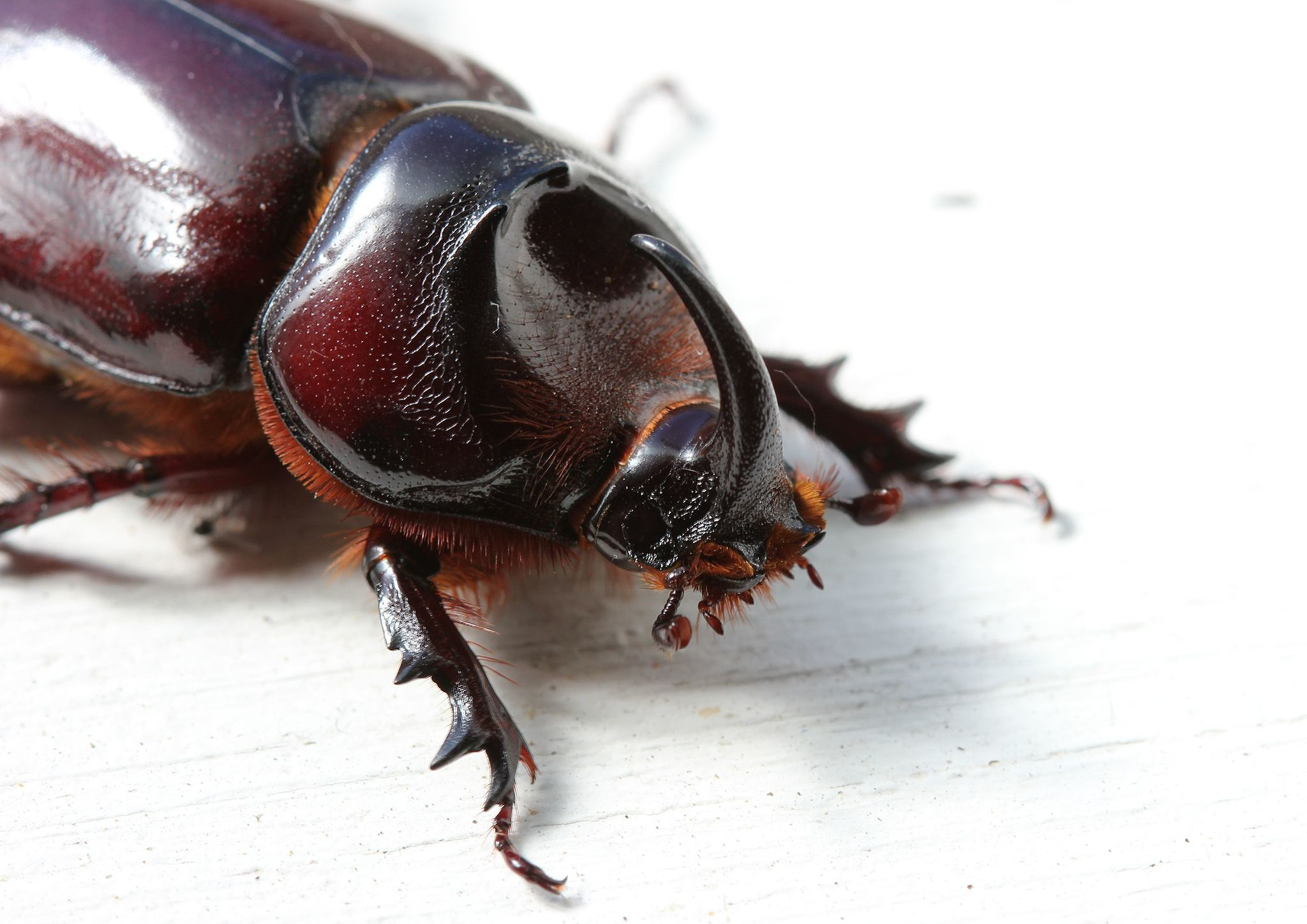 rhinoceros beetle one of the Little Five of Africa