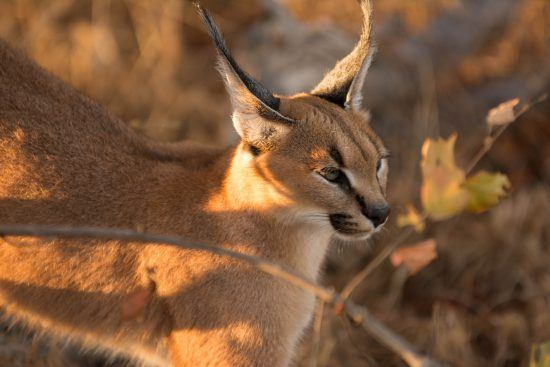 The turfed, black eyes are characteristic of these wild cats