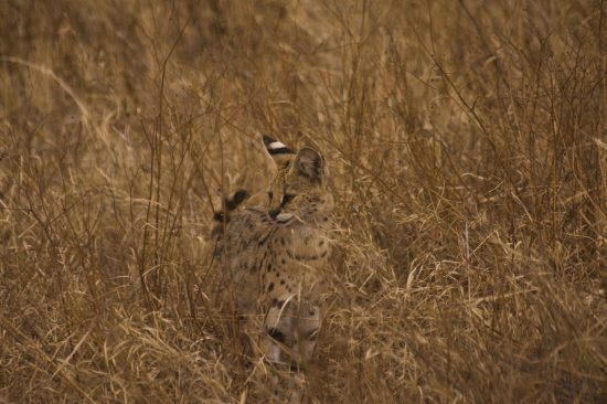 A serval spotted in Tanzania