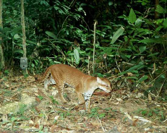 The African Golden Cat can be found in the hills of the Bwindi Impenetrable National Park