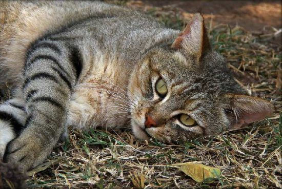 A close-up of the African Wild Cat spotted in Emdoneni Lodge, KwaZulu Natal