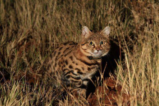 Tswalu Kalahari has a Black footed Cat in the area