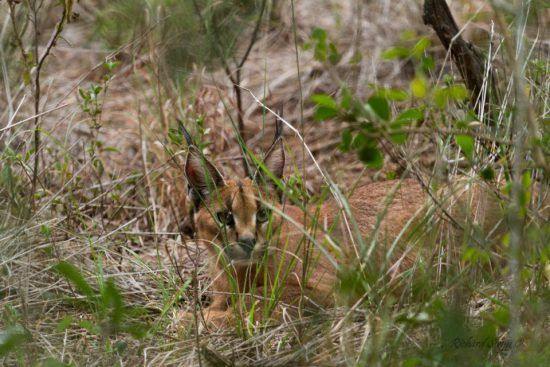A rare sighting of a caracal at Somkhanda Game Reserve