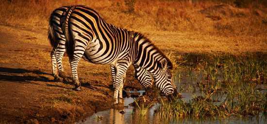 Zebra drinking at Singita Ebony Lodge