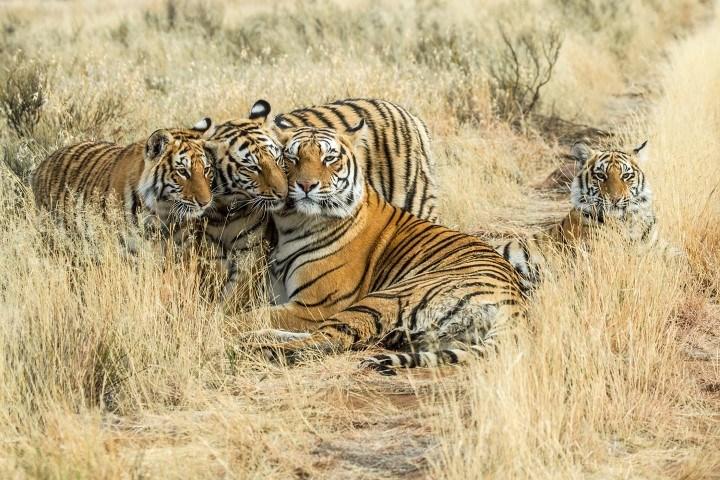 Drei Tiger liegen im afrikanischen Busch und kuscheln miteinander