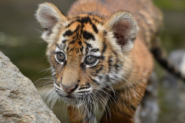 Nahaufnahme eines Tigerbabys