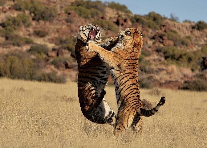 Zwei Tiger springen bei einem Kampf im afrikanischen Busch in die Luft