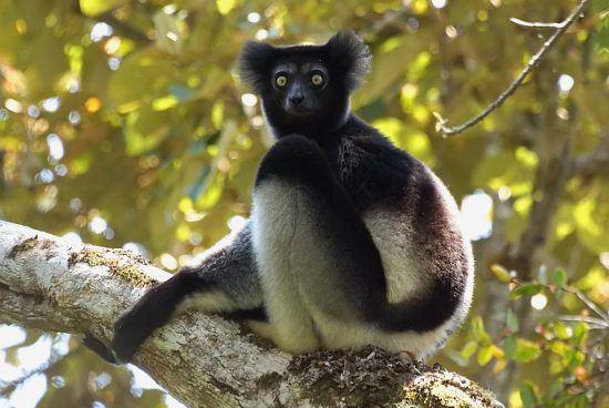 The strange and wonderful Indri in Madagascar