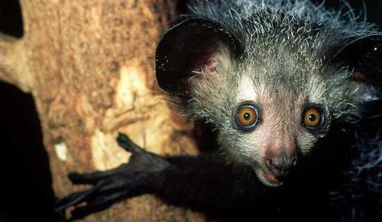 The Aye-Aye of Madagascar
