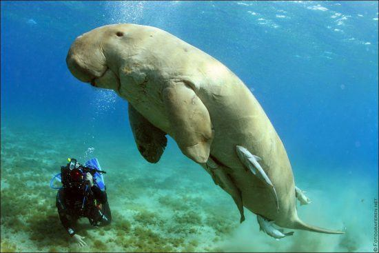 One can see dugong at the Bazaruto Archipelago in Mozambique