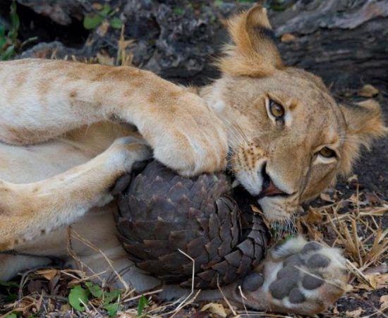 A lion has a go at a pangolin