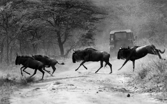 Experience the wildebeest migration