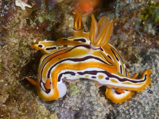 An example of a nudibranch found in KnwZulu Natal's waters