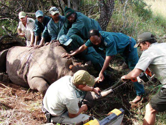 Tierschützer vom Wildlife ACT kümmern sich um ein betäubtes Spitzmaulnashorn