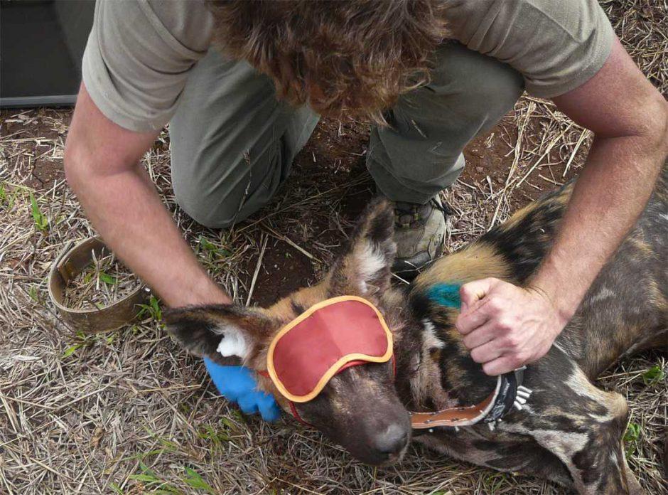 Wildlife ACT Fund working to save the endangered wild dog species