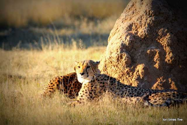"""""""We stepped out into a clearing, and far across to the other side, I saw a termite mound, and then nearby a spotted tail flipped up out of the long grass. Cheetah!"""""""