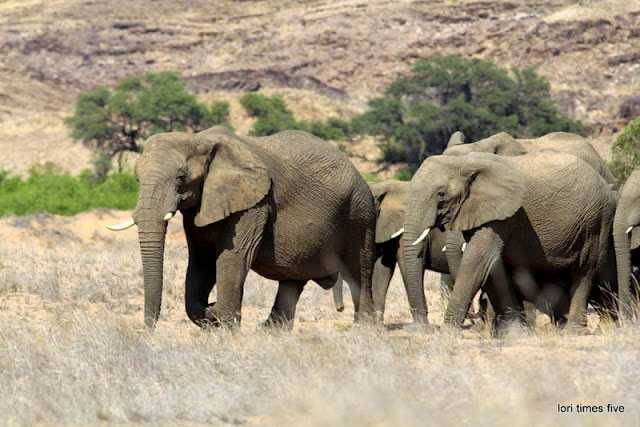 """""""The desert elephant differs from it's cousins. They are smaller, and have larger feet, which makes it easier to walk in the sand, they can go many days without water to drink."""""""