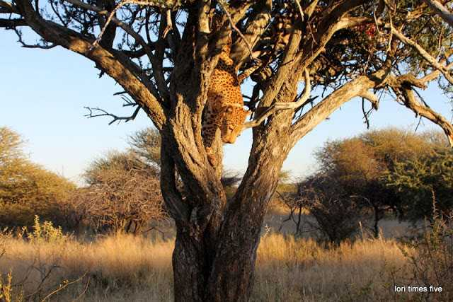 """""""We drove around, greeting the wakening bush veld. We saw: oryx, sand grouse, banded mongoose, squirrel, red-billed frankolin, swallowtail bee-eaters. And then Jonas said, 'There is a leopard in the tree'. """"What?"""" He whispered it again as we drove through trees and brush, thorns poking, a branch even broke off and I had to pry it off my seat but all the while never taking my eyes off the trees in front. """"Where?"""" We couldn't see until we drove directly in front of an acacia and Jonas pointed up. 'There'."""""""