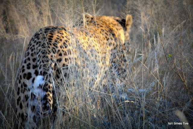 """""""We sat and watched him walk away. It was then I think I remembered to breath. I was so lucky to be sitting closest to him. On a safari truck everyone has a good view, but sometimes it can be great."""""""