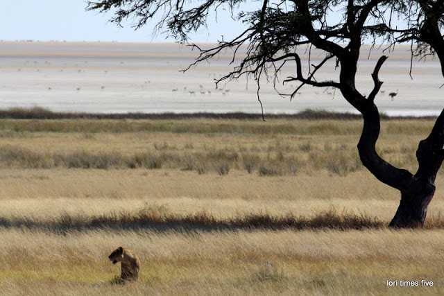 """""""At the Salvadora Waterhole something new. We found lions.  Terribly exciting. We saw that one of this pride was hiding in the grass, watching a herd of zebra in the distance."""""""