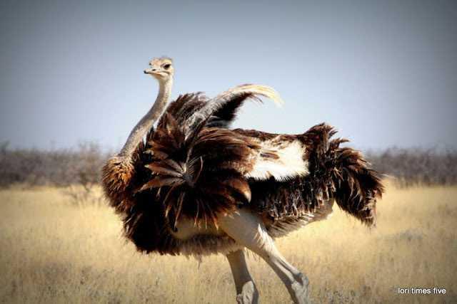Ostrich in Etosha
