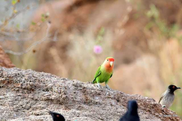 """A waterhole forms part of the Mowani Mountain Camp and Lori and Chuck """"watched the comings and goings for hours."""" This Rosy Faced Lovebird is one of Lori's favourites."""
