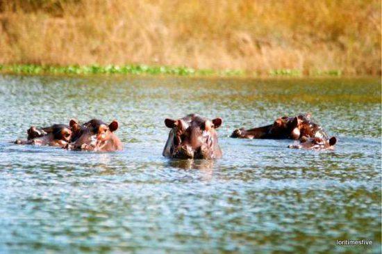 Hippos wallowing in water, Zimbabwe