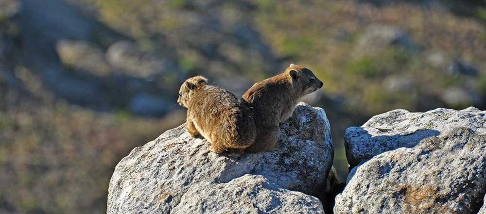 Rock rabbits