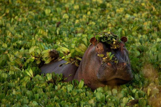 Hippo submerged within the water plants
