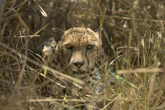 If you look closely, you might spot cheetahs