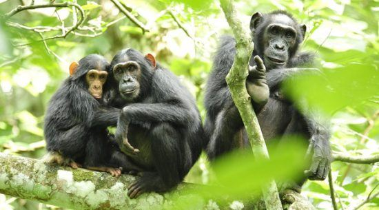 Voyage au Rwanda   Une famille de chimpanzés