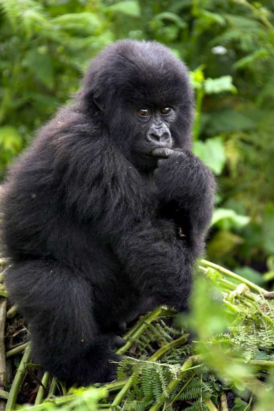 Gorila-da-montanha no Parque Nacional de Bwindi, Uganda