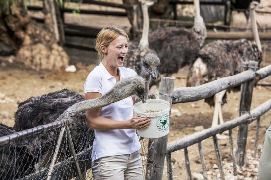 Frau hält einen Eimer, aus dem Strauße fressen, Oudtshoorn in Südafrika