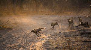 Afrikanische Wildhunde rennen auf ihrer Jagd in Botswana