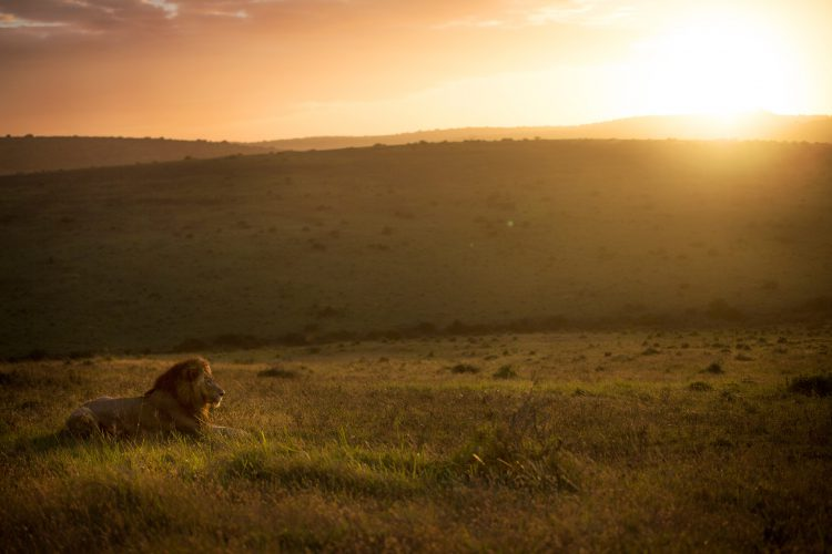 Afrika Zitate: Ein Löwe in der Savanne