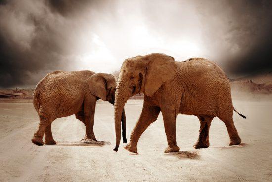 Desert-adapted elephants of Namibia