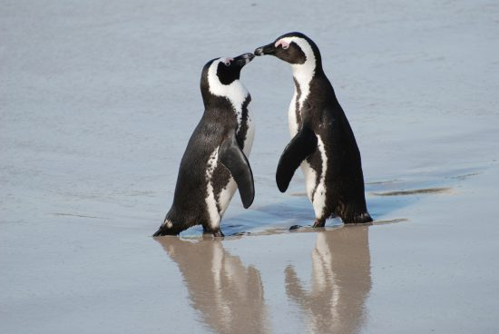 Endangered African penguins mate for life
