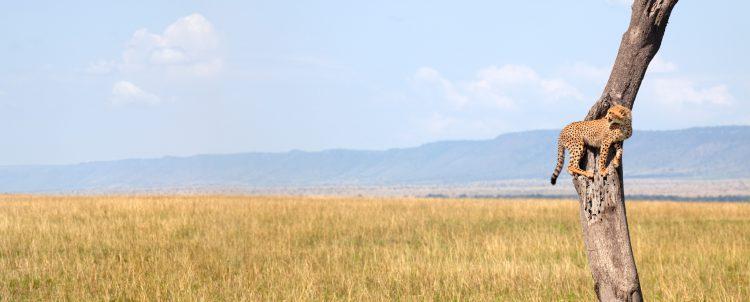 Gepard auf einem Baum beobachtet die offene Graslandschaft