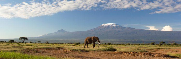 Elefant läuft durch Savanne mit dem Kilimanjaro im Hintergrund