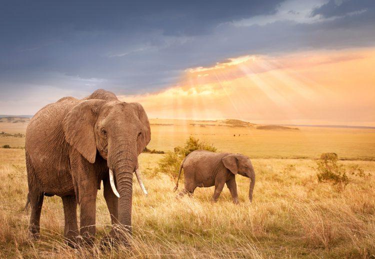 Elefanten laufen während des Sonnenuntergangs durch die Savanne