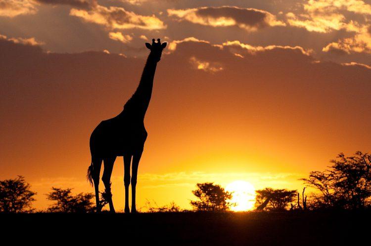Silhouette einer Giraffe vor einem spektakulären Sonnenuntergang