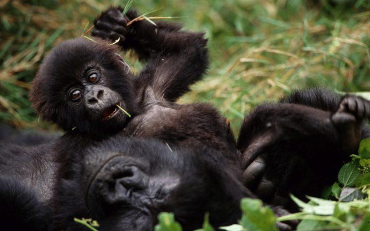 Gorila bebê com a mãe em Uganda