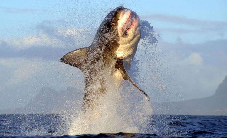 Grande tubarão branco é visto perto da Cidade do Cabo