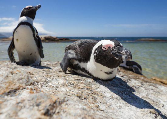Penguins at Boulder's Beach, Cape Town
