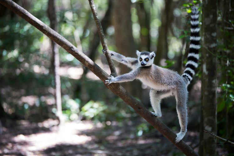Lemur in Madagaskar klettert auf einem Baum herum