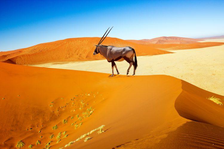 Oryx steht auf einer Düne in Namibia