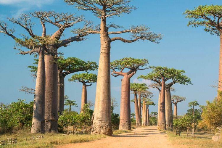 Baobab-Allée auf Madagaskar